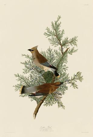 Cedar Bird