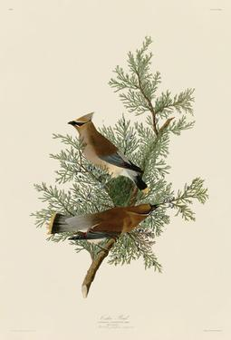 Cedar Bird by John James Audubon