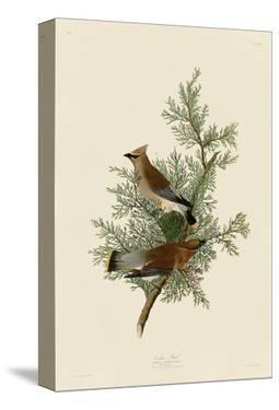 Cedar Bird by John James Audubon