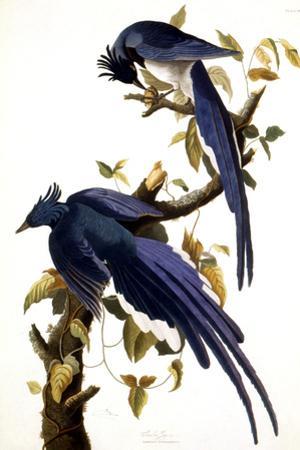 Columbia Jay, 1830, by John James Audubon