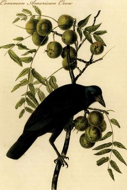 Common American Crow by John James Audubon