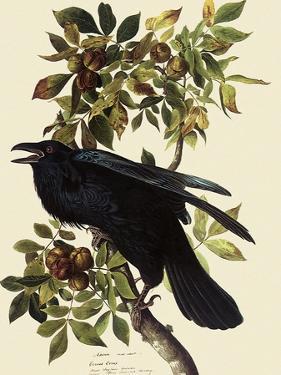 Common Raven by John James Audubon
