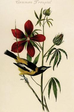 Common Troupial by John James Audubon