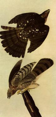 Cooper's Hawks by John James Audubon