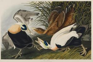 Eider Duck, 1835 by John James Audubon