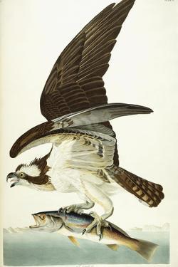 Fish Hawk, 1830 by John James Audubon