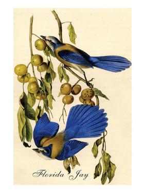 Florida Jay by John James Audubon
