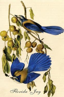 Florida Jay by John James Audubon