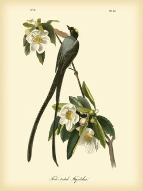 Fork-Tailed Flycatcher by John James Audubon
