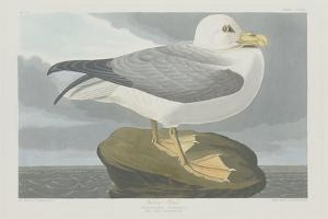 Fulmer Petrel, 1835 by John James Audubon