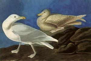 Glaucous Gull by John James Audubon