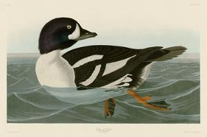 Golden-eye Duck by John James Audubon