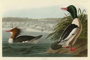 Goosander by John James Audubon