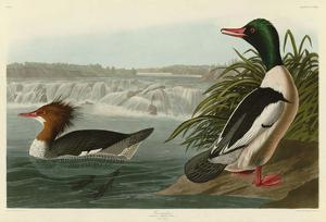 Goosander by John James Audubon