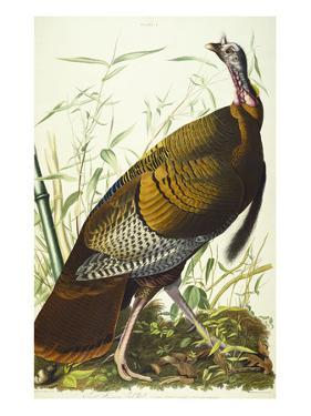 Great American Beck Male. Wild Turkey (Meleagris Gallopavo), Plate I, from 'The Birds of America' by John James Audubon