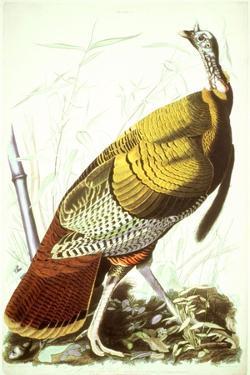 Great American Turkey by John James Audubon