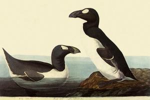 Great Auks by John James Audubon