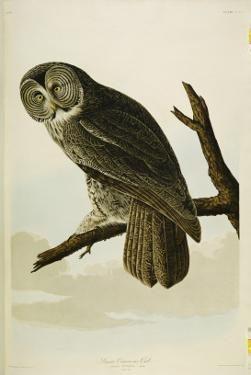 Great Cinereous Owl, from 'The Birds of America' by John James Audubon