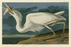 Great White Heron by John James Audubon