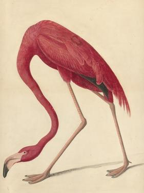 Greater Flamingo, 1838 by John James Audubon