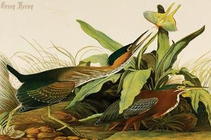 Green Heron by John James Audubon