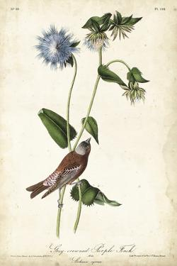 Grey-crowned Purple Finch by John James Audubon