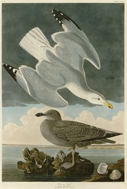 Herring Gull by John James Audubon
