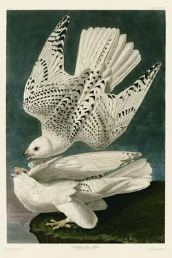Iceland or Jer Falcon by John James Audubon