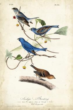 Indigo Bunting by John James Audubon
