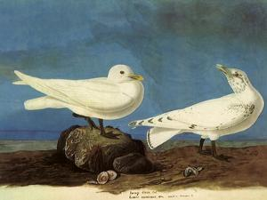 Ivory Gulls by John James Audubon