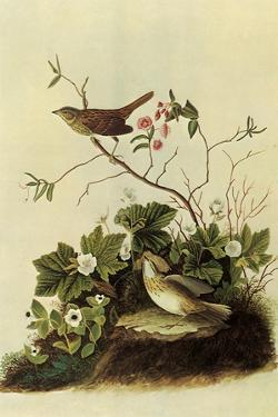 Lincoln's Sparrows by John James Audubon