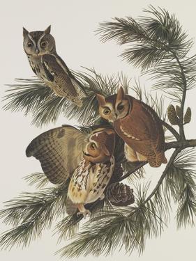Little Screech Owl or Mottled Owl by John James Audubon