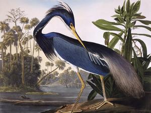 Louisiana Heron by John James Audubon