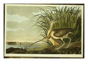 Male and Female Long Billed Curlew by John James Audubon
