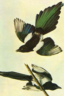 Mallard by John James Audubon