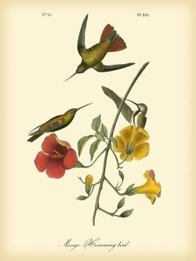 Mango Hummingbird by John James Audubon