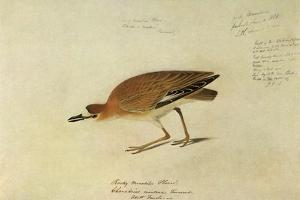 Mountain Plover by John James Audubon