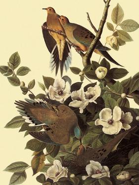 Mourning Doves by John James Audubon