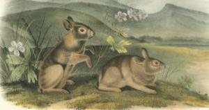 Nuttall's Hare by John James Audubon
