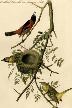 Orchid Oriole on Hang Nest by John James Audubon