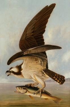 Osprey and Weakfish, 1829 by John James Audubon