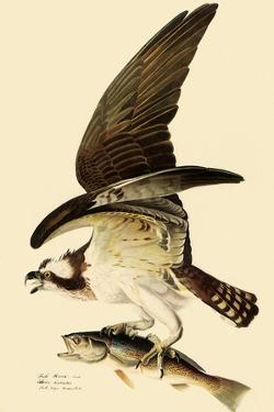 Osprey in Flight by John James Audubon