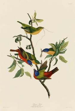 Painted Finch by John James Audubon