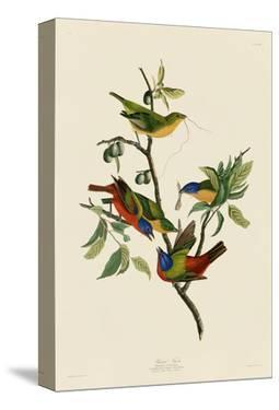 Painted Finch by John James Audubon