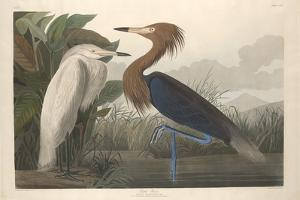Purple Heron, 1835 by John James Audubon