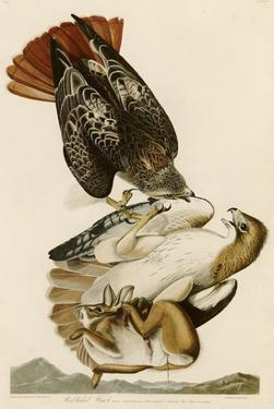 Red-Tailed Hawk by John James Audubon