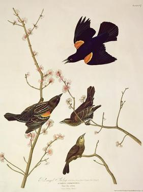 Red-Winged Starling, from 'Birds of America', Engraved by Robert Havell (1793-1878) Published 1820 by John James Audubon