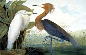 Reddish Egret, by John James Audubon