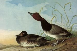 Redhead Ducks by John James Audubon