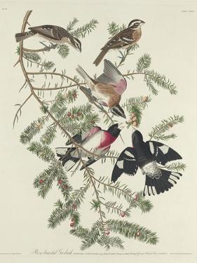 Rose-breasted Grosbeak, 1832 by John James Audubon